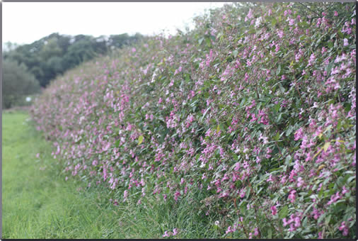 balsam in hedge