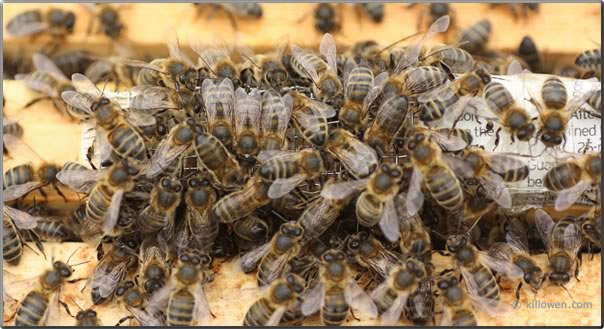 bees initial reaction to new queen