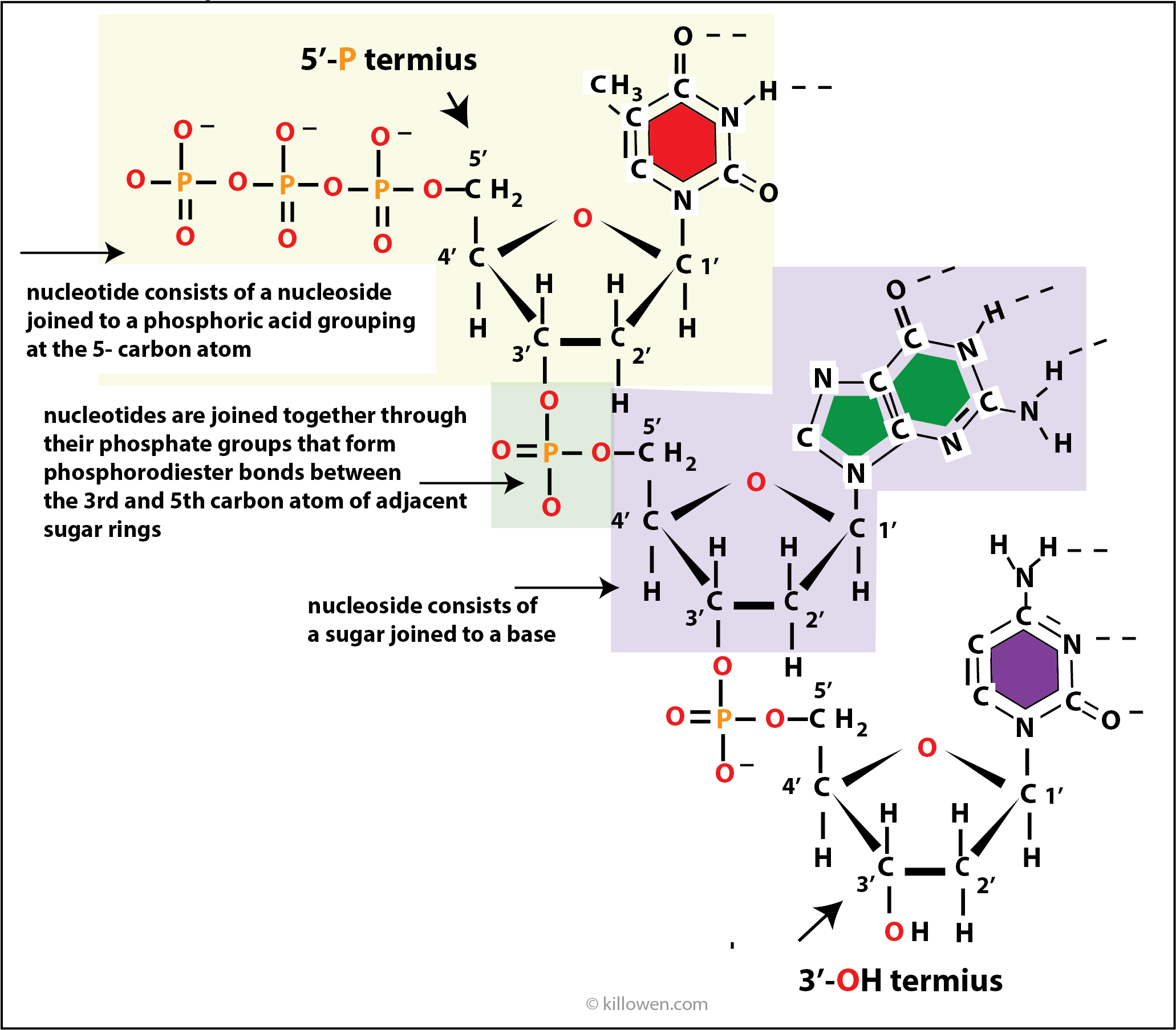 nucleotides and nucleosides