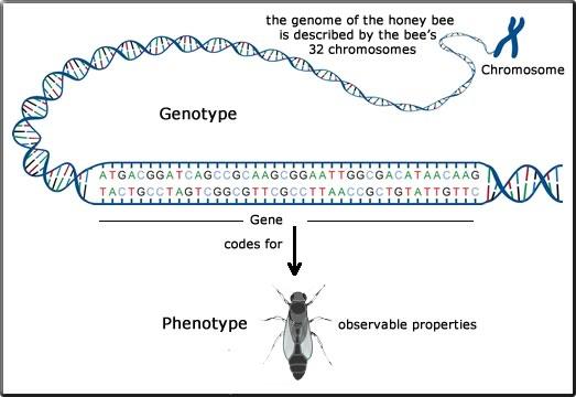 factors affecting genotype phenotype relationship quotes